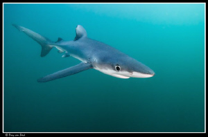 Blue Shark (70 km South of the Cape) by Dray Van Beeck 